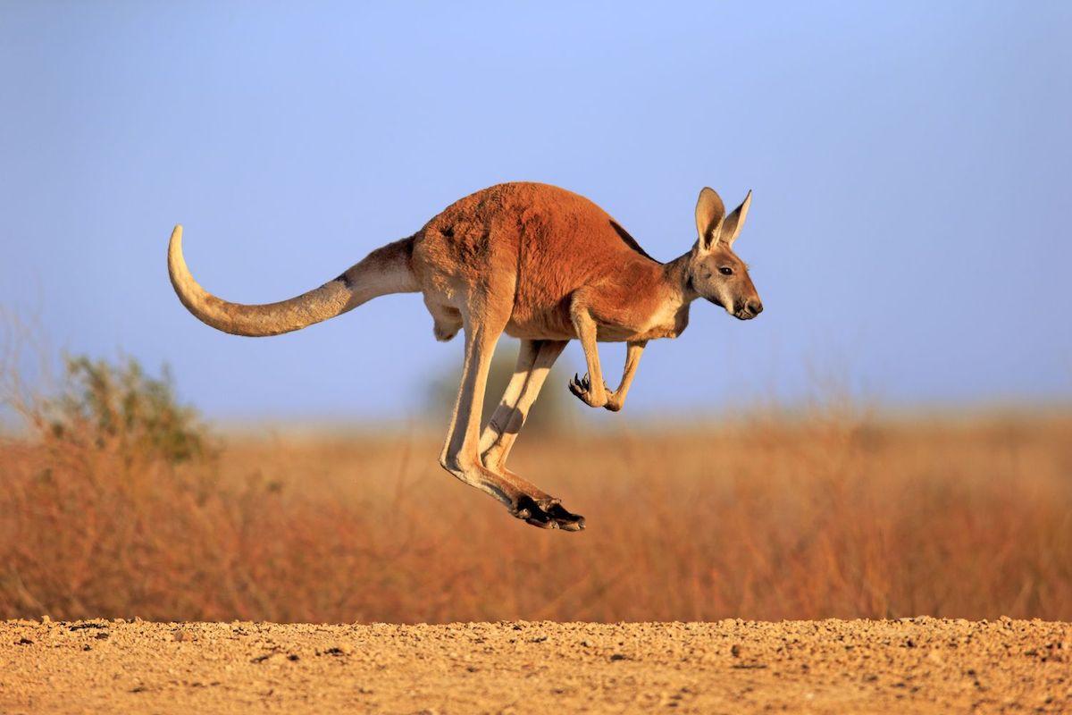 Macca Plus bào chế từ tinh hoàn và thịt kanguroo nguyên chất